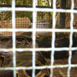Pythons sind keine Seltenheit im Mekong Delta