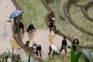 Der neue Reis wird in der Regel mit vielen Leidensgenossen gepflanzt
